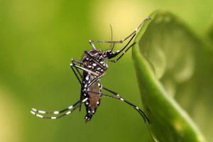 Tigrasti komar - Aedes albopictus